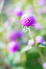 DSC05695 (Keishi Etoh rough-and-ready photoglaph) Tags: sony a7ⅱ sonya7ⅱ 35mmfullframe ilce7m2 sonyilce7m2 valdaihelios44258mmf20 58mm helios442 helios mf manualfocuslens primelens fixedfocallengthlens oldlens m42 単焦点 標準 modifiedsquareapertureblade flower