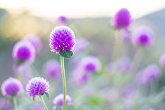 DSC05688 (Keishi Etoh rough-and-ready photoglaph) Tags: sony a7ⅱ sonya7ⅱ 35mmfullframe ilce7m2 sonyilce7m2 valdaihelios44258mmf20 58mm helios442 helios mf manualfocuslens primelens fixedfocallengthlens oldlens m42 単焦点 標準 modifiedsquareapertureblade flower