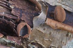 Sametlõhik, sametlõhkik; Encoelia furfuracea; nahkapikari (urmas ojango) Tags: seened fungi helotiales tiksikulaadsed cenangiaceae encoelia lõhkik sametlõhik sametlõhkik encoeliafurfuracea nahkapikari