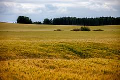Fawcett Wheat Filed Landscape (Bracus Triticum) Tags: fawcett wheat filed landscape アルバータ州 alberta canada カナダ 8月 八月 葉月 hachigatsu hazuki leafmonth 2019 reiwa summer august