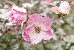 First Snow of the Season 03 (jolynne_martinez) Tags: pink rose knockoutrose kansascity mo unitedstatesofamerica flower flowers bud flooming flowering snow snowflakes firstsnow winter nikkor outside nikon nikond60