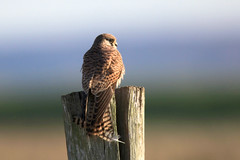 Kestrel (Pedrosky.) Tags: elmley nature wildlife bird raptor kent