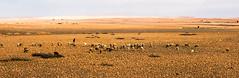20181116-074 (sulamith.sallmann) Tags: tiere verkehr afrika busfahrt einfach karg marokko nahverkehr schaf schafe schafsherde schäfer säugetiere tier traffic sulamithsallmann
