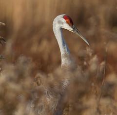 Sandhill Crane (Lee J2) Tags: sandhillcrane gruscanadensis chestnut grove natural area pennsylvania tall heronlike bird lancastercounty