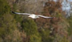 visiting gull (dianabog ) Tags: tablerocklake seagull