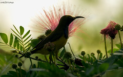 Olive-backed sunbird (melvhsc100) Tags: nature wildlife park garden bird greenery flowers backlit plant lightandcolors