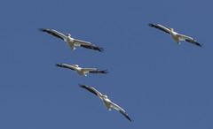 cool pelicans (Mark.Swanson) Tags: bird pelican americanwhitepelican whitepelican pelecanuserythrorhynchos smithpoint texas