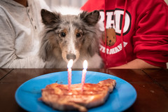 Murphy's Second Birthday (2 of 5) (Quentin Biles) Tags: 2435 art d850 murphy nikon sheltie shetlandsheepdog sigma birthday dog