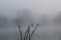 muted (RubyT (I come here for cameraderie!)) Tags: fujifilmxt30 xf1855 geese lake morning reflection water fog landscape