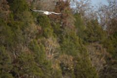 stealth gull (dianabog ) Tags: tablerocklake seagull