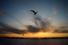 Wisp (dtanist) Tags: nyc newyork newyorkcity new york city sony a7 7artisans 35mm staten island ferry harbor manhattan boat vessel ship view sun setting sunset bird flying seagull gull sea evening wisp clouds sky
