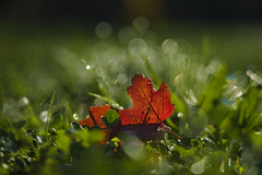Zartes Bokeh (KaAuenwasser) Tags: tau blatt natur bokeh farbe rot zart wasser tropfen herbst licht schatten farben rasen gras wiese herbstlich nah makro