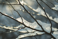 Clad with radiance... (Karl's Gal) Tags: branches snow snowcovered karlsgal november earlywinterlatefall