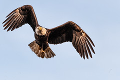 Sharp Left! (Doug Hilton) Tags: bird conowingodam baldeagle raptor maryland susquehannariver eagle