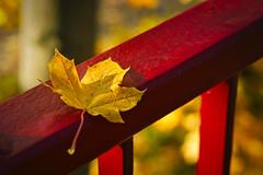 Gelbes Ahorn Blatt (KaAuenwasser) Tags: rot gelb blatt ahorn geländer brücke herbst farben farbe november 2019 licht schatten wasser tau karlsruhe meinkarlsruhe