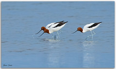 Red-necked Avocet's (Bear Dale) Tags: rednecked avocets always their beaks natures adaptions scientific name recurvirostra novaehollandiae nikkor afs 200500mm f56e ed vr ulladulla southcoast new south wales shoalhaven australia beardale lakeconjola fotoworx milton nsw nikond850 photography framed nature nikon bear d850 naturephotography naturaleza bird birds blue saltwater estuary beach beautiful beak