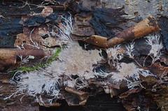 Steccherinum fimbriatum; ripsikarakka (urmas ojango) Tags: seened fungi polyporales torikulaadsed steccherinaceae steccherinum oganahkis steccherinumfimbriatum ripsikarakka