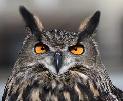 11091976498asmweb (ecwillet) Tags: owl eagledayatconowingodam greathornedowl nikon nikond500 nikon200500f56 ecwillet ericwillet