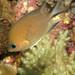 Chromis amboinensis
