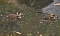 Pacific Black Ducklings (Luke6876) Tags: pacificblackduck duck ducklings bird animal wildlife australianwildlife nature