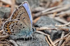 Fortress Butterfly - _TNY_0385 (Calle Söderberg) Tags: macro canon canon5dmkii canoneos5dmarkii canon5dmarkii 5d2 canonef100mmf28lmacroisusm raynox dcr250 flash godox thinklite tt685c plåtdiffusorv3 blue idasblue northernblue blåvinge hedblåvinge plebejus idas leipidoptera polyommatini lycaenidae lycaeninae papilionoidea juvelvinge hemsöfästning hair hairy fuzz fuzzy fur furry orangespots butterfly schmetterling fjäril f22 hemsöfortress