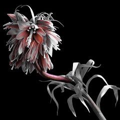 Fritillaria Imperialis (Pixel Fusion) Tags: nature nikon flora flower aperture macro d600 photoshop fritillariaimperialis