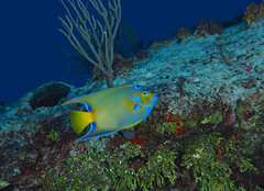 Queen Angelfish (Holacanthus ciliaris) cruising the reef (oceanzam) Tags: fish angelfish nature animal eye coral reef color colour colorful blue yellow life ocean sea shore beach playa aquatic agua marine science biology species mexico cozumel scuba diving buceo bucear sand holiday uwphotgraphy scenic panoramic tranquil beauty tropical caribbean island wildlife water underwater