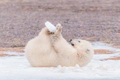 Polar Bear Cub With Ice (Loren Mooney) Tags: alaska bear wildlife mammal americanbirds bird kaktovik outdoors nature canon polarbear wilderness animal american bearsursidae birding birds birdwatching wild wings