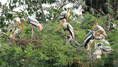 Look what the Storks brought in  ........  (view large) (Mary Faith.) Tags: storks chickens babies birds nesting stork india