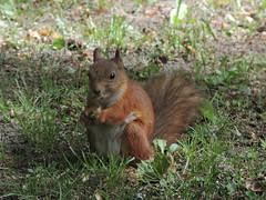 Eurasian red squirrel (Anita363) Tags: eurasianredsquirrel redsquirrel squirrel sciurusvulgaris sciurus sciuridae rodent mammal fauna peterhof russia june female