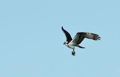 Osprey and Two Fishes! (rambokemp) Tags: osprey fish bird bif birdinflight birdinfligh birds raptor raptors wetlands wetland phoenixarizona canoneos1dxmarkii canonef600mmf4liiisusm sky bluesky wildlife wilderness