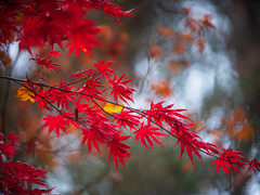 Japanese Red Maples Canon 200/1.8 (www.mikereidphotography.com) Tags: acer leaves bokeh fallcolors gfx50s