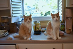 """The clock is ticking. We could perish at any moment from starvation."" (rootcrop54) Tags: cc100 jimmy orange ginger tabby male fluffytail cat otis creamsicle masked males cats kitchen counter hungry neko macska kedi 猫 貓 kočka kissa γάτα köttur kucing gatto 고양이 kaķis katė katt katze katzen katua kot кошка mačka gatos kotek мачка pisică pisici maček kitteh chat ネコ cc600 cc700"
