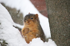 153/366/4170 (November 11, 2019) - Juvenile and Adult Fox Squirrels on a Snowy Day in Ann Arbor at the University of Michigan - November 11th, 2019 (cseeman) Tags: gobluesquirrels squirrels foxsquirrels easternfoxsquirrels michiganfoxsquirrels universityofmichiganfoxsquirrels annarbor michigan animal campus universityofmichigan umsquirrels11112019 autumn fall eating peanuts novemberumsquirrel juvenilesquirrels juvenilefoxsquirrels juveniles snowing snow snowstorm snowysquirrels 2019project365coreys yeartwelveproject365coreys project365 p365cs112019 356project2019
