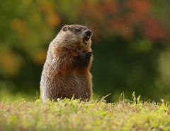 """""""I despise mosquitoes!"""" (Slow Turning) Tags: marmotamonax groundhog woodchuck rodent foraging feeding eating standing haunches mouthopen teeth autumn fall southernontario canada cute funny"""