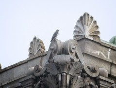 Peregrine (Goggla) Tags: peregrinefalcon cityhall nyc new york manhattan urban wildlife bird raptor adult