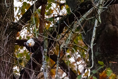 Can you see me now? (Doug Hilton) Tags: bird conowingodam baldeagle raptor maryland susquehannariver eagle