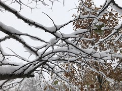 Snow laden branches (ladybugdiscovery) Tags: cold snow branches autumn