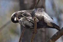 Young Australian Magpie (Luke6876) Tags: australianmagpie magpie butcherbird bird animal wildlife australianwildlife nature