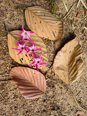 Dipterocarpus obtusifolius Teijsm. Ex Miq. Dipterocarpaceae-ยางเหียง 1e (SierraSunrise) Tags: thailand isaan esarn phonphisai nongkhai plants flowers trees pink white dipterocarpaceae dipterocarp