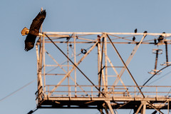 Flying by the transmission towers at Conowingo Dam (Doug Hilton) Tags: bird conowingodam baldeagle raptor maryland susquehannariver eagle