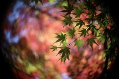 楓 Green       Kodak Anastigmat  63mm  1;2.7 (情事針寸II) Tags: ngc trees bokeh nature park autumn leaves brussels étangsduleybeek kodakanastigmat63mm127