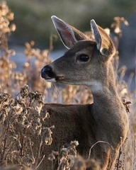 Black-tailed Deer 7016