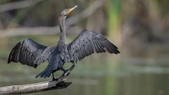 Poser (Paul McGoveran) Tags: bif bird birdinflight cormorant hendrievalley nature nikon500mmf4 nikond500 nikond850 wings coth5