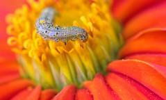 Pollen Dusted Caterpillar (dianne_stankiewicz) Tags: coth caterpillar flower macro pollen nature wildlife coth5
