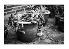 Potted plant in the autumn (K.Pihl) Tags: garden leicam5 plant 50mmsummiluxf14 monochrome decay pellicolaanalogica hc110b autumn blackwhite schwarzweiss bw kodaktmax400 film analog