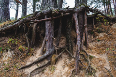 Tree roots in the forest. (ivan_volchek) Tags: tree forest nature wood trees old green woods roots trunk landscape root park pine environment spring rock stump moss natural dead bark leaf deep beautiful beauty big concept ecology outdoor plant rooted scenery scenic