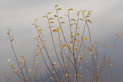 Cors Caron Colours (shawn~white) Tags: corscaron ©shawnwhite fujifilmxt2 beauty elegance harmonious idyllic peaceful reflective tranquil nature bog wetland ceredigion westwales uk greatbritain autumn fujinonxf1655f28rlmwr tree birch water purity