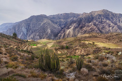 A fertile valley (marko.erman) Tags: peru colca canyon river deep condor cross cruz del backlight contrejour sony uwa ultra wide angle travel outside outdoor nature mountains southamerica latinamerica fertile terraces nopeople