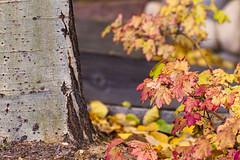 Autumn fading (Karon Elliott Edleson) Tags: autumn leaves leaf fall season closeup colorsoffall tree bark